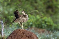 Otarda crestata rossa nel parco nazionale di Kruger, Sudafrica Immagine Stock