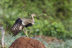 Otarda crestata rossa nel parco nazionale di Kruger, Sudafrica Fotografie Stock