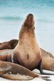 Otaria di Galapagos che solleva la sua testa. Fotografie Stock