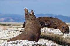 Otaria que bosteza mientras que toma el sol y relájase en la bahía de Kaikoura imagen de archivo libre de regalías