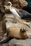 Otaria y pájaro blanco que se reclinan sobre las rocas Foto de archivo libre de regalías