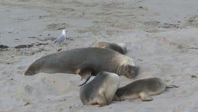 Otarias en la playa en la isla del canguro, Australia almacen de metraje de vídeo
