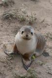 Otarie australienne (chiot) Photo libre de droits