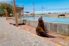 Otarie dans des îles de San Cristobal Galapagos Images stock