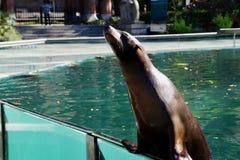 Otarie dans le zoo de Central Park photographie stock