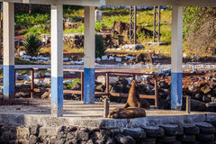 Otarie dans les îles de Galpagos Image libre de droits
