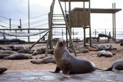 Otarie dans les îles de Galpagos Photographie stock libre de droits
