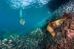Otarie de chiot sous-marine avec une sirène Photo stock