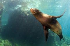Otarie de chiot sous-marine vous regardant Photo libre de droits