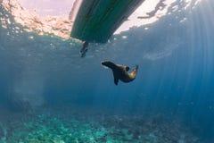 Otarie de chiot sous un bateau Image libre de droits