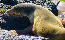 Otarie de Galápagos Photographie stock