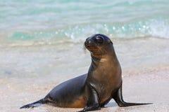 Otarie de Galapagos à la plage Na sur d'Espanola île, Galapagos Images stock