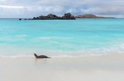 Otarie de Galapagos, îles de Galapagos, Equateur image stock