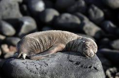 Otarie de Galapagos de bébé prenant un bain de soleil sur des roches Images libres de droits