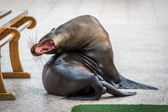 Otarie de Galapagos baîllant avec la bouche ouverte Photographie stock