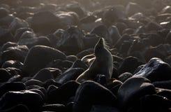 Otarie de Galapagos camouflée sur les roches volcaniques Photos libres de droits