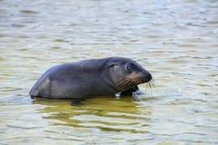 Otarie de Galapagos jouant chez Gardner Bay, île d'Espanola, gala Photo stock