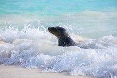 Otarie de Galapagos jouant chez Gardner Bay sur l'île d'Espanola, GA Photo stock