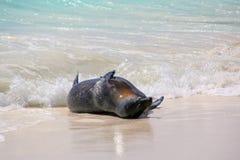 Otarie de Galapagos jouant dans l'eau chez Gardner Bay, Espanola ISL Image stock