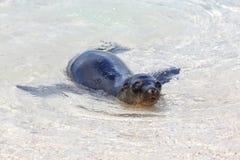 Otarie de Galapagos jouant dans l'eau sur l'île d'Espanola, Galapago Photo stock