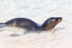 Otarie de Galapagos jouant dans l'eau sur l'île d'Espanola, Galapago Photos stock