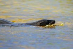 Otarie de Galapagos nageant Gardner Bay, île d'Espanola, Galapa Photographie stock libre de droits