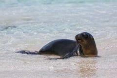 Otarie de Galapagos se reposant à la plage sur l'île d'Espanola, gala Images libres de droits