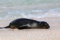Otarie de Galapagos se reposant à la plage sur l'île d'Espanola, gala Images stock