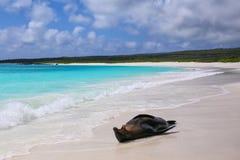 Otarie de Galapagos se trouvant sur la plage chez Gardner Bay, Espanola I Photographie stock libre de droits