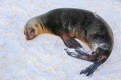 Otarie de Galapagos se trouvant sur la plage chez Gardner Bay, Espanola I Photographie stock