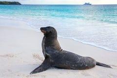 Otarie de Galapagos sur la plage chez Gardner Bay, île d'Espanola, Photo stock