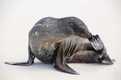 Otarie de Galapagos sur la plage sur l'île d'Espanola, Galapagos N Photo libre de droits