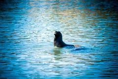 Otarie de la Californie dans l'eau bleue Images libres de droits
