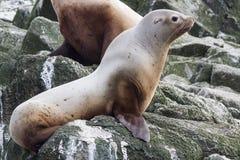 Otarie de Steller se reposant sur une île de roche dans le Pacifique Images libres de droits