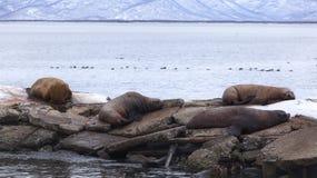 Otarie del mare su un pilastro Immagini Stock