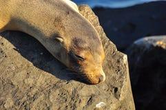 Otarie dormant sur une roche photo stock