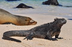 Otarie et iguane photo libre de droits