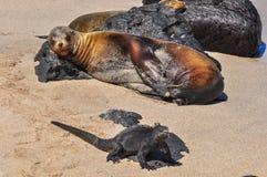 Otarie et Marine Iguana image libre de droits