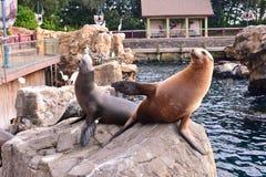 Otarie exigeant l'attention pour la nourriture dans la conserve Pacifique de point chez Marine Theme Park dans l'interne photos stock
