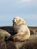 Otarie mâle sauvage de Steller Photo stock