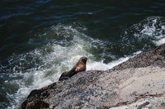Otarie montant une roche en Orégon Photographie stock