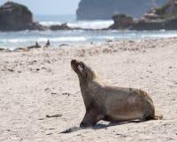Otarie, parc de conservation de baie de joint, île de kangourou, SA, Austr Image stock