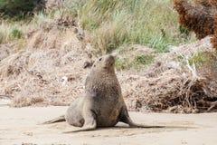 Otarie s'étirant sur la plage, Otago Nouvelle-Zélande Image libre de droits