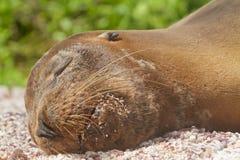 Otarie se reposant dans les îles de Galapagos Photo libre de droits