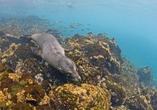 Otarie sous-marine, îles de Galapagos Images libres de droits