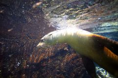 Otarie sous-marine parmi les roches volcaniques Image libre de droits