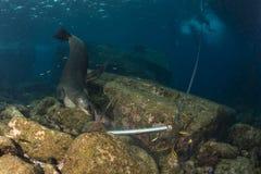 Otarie sous-marine tout en inspectant une ancre Photographie stock
