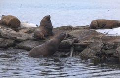 Otarie su un pilastro del mare Immagini Stock