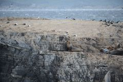 Otarie sud-américaine, flavescens d'Otaria, colonie d'élevage et haulout sur le petit extérieur Ushuaia d'îlots juste Photo stock