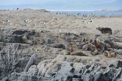 Otarie sud-américaine, flavescens d'Otaria, colonie d'élevage et haulout sur le petit extérieur Ushuaia d'îlots juste Photographie stock libre de droits